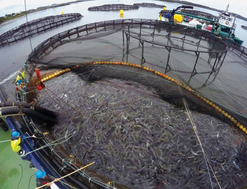 Any lice with that salmon? Parasite plagues global industry
