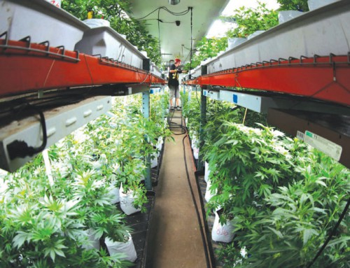 Reports: Oregon has pot oversupply, Colorado has well-balanced market