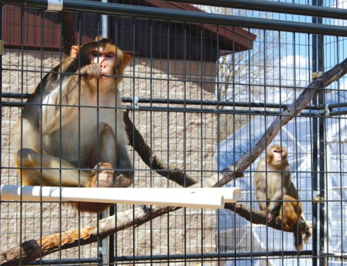 More research labs are retiring monkeys when studies are finished