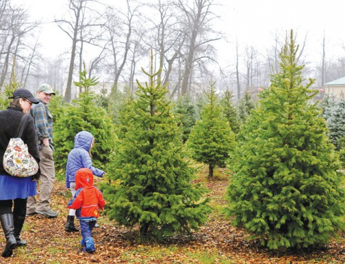 Christmas trees to cut down are more scarce this year